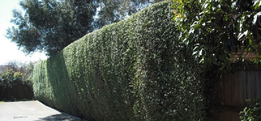 Pittosporum-hedge